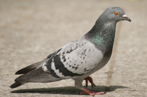 pigeon9